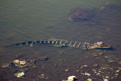 Half Ondergedompelde Kleine Alligator in Everglades Stock Foto