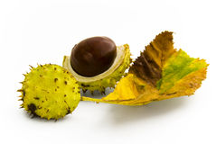 Half open chestnut with autumnal leaf Stock Image