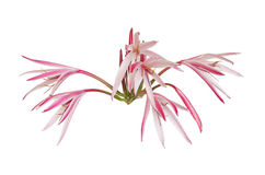 Half open Giant spider lily flowers Royalty Free Stock Photo