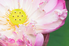 A half of open lotus flower. Blossom Stock Photography
