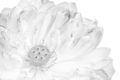 A half of open lotus flower. Blossom Stock Images