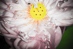 A half of open lotus flower. Blossom Royalty Free Stock Image