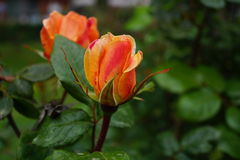 Half open rose Royalty Free Stock Image