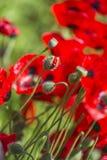Half opened poppy flower bud Stock Image