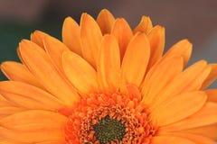 Half of orange gerbera flower Royalty Free Stock Photo