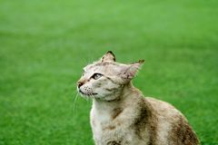 Half portrait of cat look side in grass background. Half portrait of cute tabby cat ,eyes look side view in green grass outdoor background with copy space. Feel royalty free stock images