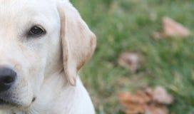 Half portrait of Sara Labrador retriever puppy Stock Image