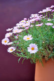 Half pot with pink daisies. Pink daisies on half clay pot royalty free stock images