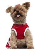 half röd terrier som 4 slitage yorkshire Arkivbild