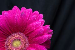Half of the red gerbera flower with water drops close up on black background.  stock photo