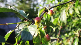 Half-ripe cherries tree branch with pair of tasty fruit on wind. Close up half-ripe fresh cherry. Half-ripe cherries tree branch with pair of tasty fruit on wind stock video
