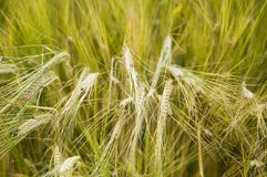 Half-ripe ears of two-row barley. Close-up of barley ears with spikes in cereal field in summer royalty free stock image