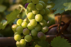 Half ripe grapes. Growing on a tree Royalty Free Stock Photography