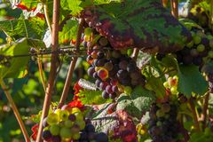 Bunches of half ripe grapes on a vine royalty free stock image