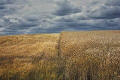 Half rye half oats field Royalty Free Stock Image