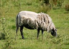 Half Sheared Sheep Stock Photos