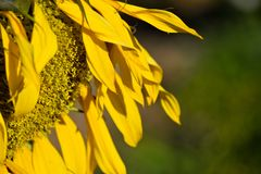 Half Side Sunflower Royalty Free Stock Images