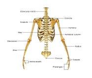 Half skelet stock illustratie