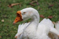 Half sleeping white goose. Drowsy white goose stock photos