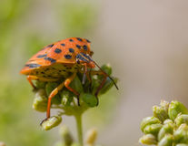 Half-spotted stink bug in nature Royalty Free Stock Image