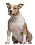 half staffordshire för 3 american terrier Arkivfoto