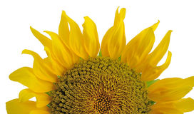Half of sunflower. One half of sunflower isolated stock photos