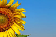 Half sunflower Royalty Free Stock Photography
