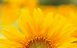 A half of sunflower Royalty Free Stock Images