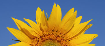 Half Sunflower Stock Images