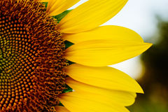Half Sunflower Royalty Free Stock Images
