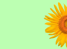 Half of sunflower Stock Images