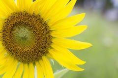 A half of sunflower Stock Photo