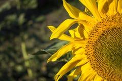 Half of a sunflower Stock Photos