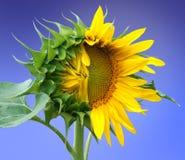 Half tot bloei gekomen zonnebloem op een blauwe achtergrond Stock Foto