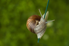 Half turn of agile escargot. Close up of a snail creeping above a vertical glass plate, with green background Stock Images
