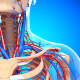 Half view of circulatory of throat and head. 3d art illustration of Half view of circulatory of throat and head Stock Photos
