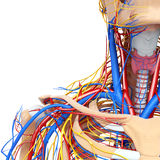 Half view of circulatory of throat and head. 3d art illustration of Half view of circulatory of throat and head Stock Images
