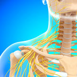 Half view of nervous system of throat and head Royalty Free Stock Photography