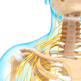 Half view of nervous system of throat and head Stock Image