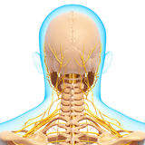 Half view of nervous system of throat and head Stock Photography