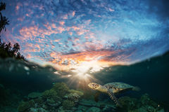 Half Water Seascape With Sunset and sea turtle underwater. Half Water Seascape With Sunset in Sky Postcard. Maldivian Sea Turtle Floating Up And Over Coral reef Stock Photography