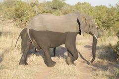 Half-wet elephant Royalty Free Stock Photos