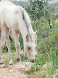 Half-wild cream foal. Israel stock photos