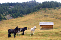 Half wild horses Stock Images