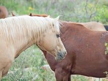 Half- wild horses at pasture.liberty. Israel royalty free stock photos