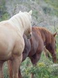 Half- wild stallions.liberty. Israel stock photography