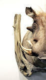 Half wildpig boar trophy Royalty Free Stock Photography