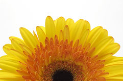 A half of yellow daisy stock image