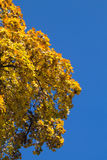Half yellow fading tree. Half of an yellow fading tree, with the blue sky in the background Royalty Free Stock Image