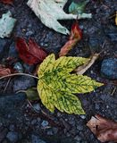 A yellow green maple leaf. Autumn. Royalty Free Stock Images